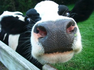the face of organic cows