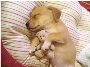 Adorable puppy sleeping. Photo: thebarkpost.com